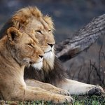Lions at the lodge