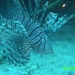 lionfish posing