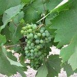 vineyards at B&B
