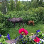 What a great experience. We had a great time safely watching the moose have lunch.