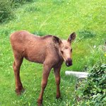 Baby moose wandered to the front of the house. We watched it eat from the front deck.