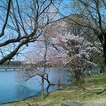 池の周りにも、桜がポツポツ