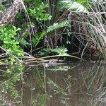 Alligator sighting