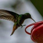 Hummingbird on the veranda at breakfast