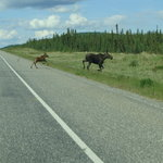 Moose with calf crossing Alaska Highway