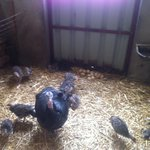 A turkey with young chicks and loads of eggs.