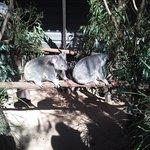 Many koala!!!