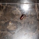 Cockroach I killed in bathroom that was not removed by housecleaning