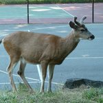 Deer by the tennis courts