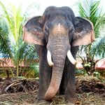 Elephant at Thirunakkara Temple, Kottayam.