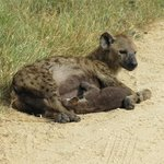Hyena mom honors us by nursing her baby right beside us