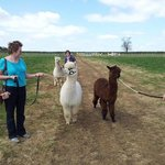 A visitor on an Alpaca Experience