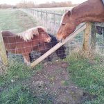 Our miniature pony foals meet a REAL horse