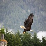 The eagles are bigger in Alaska than in SW Florida!
