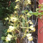 Encyclia Alata from our small orchid collection