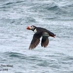 Puffin flying low over the water