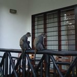 Monkeys on the balcony