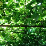 A cool canopy of grapevines