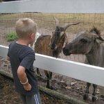 Billy Goat and Donkey
