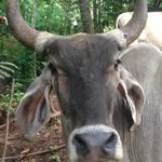 beautiful Brahman cows all over the countryside