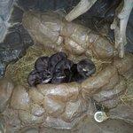 Baby beavers (?)