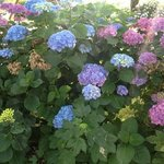hydrangea everywhere