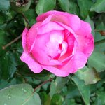 Story has it all the roses on the finca are decendents from two plants grown by a street childre