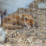 The red fox was a suprise
