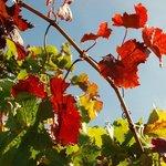 Autumn in Coonawarra
