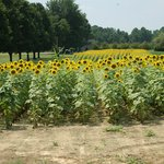 View of the Sunflowers