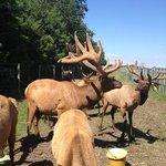 Erin Valley Elk