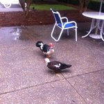 ducks in the outdoor lobby very friendly