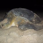 A sea turtle heading back out after nesting on the beach by the resort,