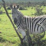 Zebra at Addo