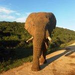 Bull elephant at Addo
