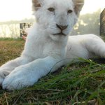Nanook the lion cub at Kwantu