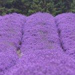 Purple sea!!