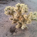Cholla cactus on the KLD site