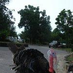 Turkeys and chickens walked around the Resort