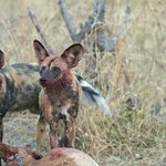 Dogs took down the male impala
