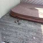 yes...that is half a pigeon