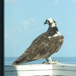 Osprey perching on our balcony - Do not disturb