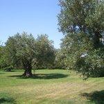Garten mit vielen alten Olivenbäumen