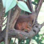 Red squirrel from our bedroom window