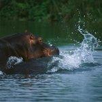 Hippo in the Shire River