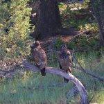 Golden Eagles on Wild Horse Island