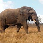OLD BULL ELEPHANT, NOTICE HIS BROKEN TUSKS