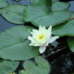 Water Lily on the garden pond