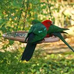 King Parrots in the Ashley Cottage Garden