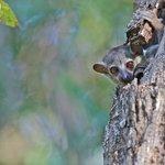 Sportive lemur (Copyright Antti Karpi 2012)